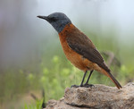 Cape rock thrush - M