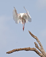 African spoonbill -