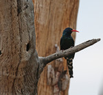 Green wood hoopoe -