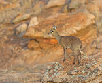 klipspringer - Oreot